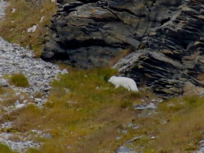 Day 7 - arctic fox
